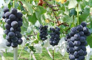 crown_nouen_grape